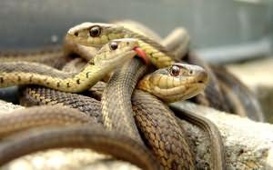 Сонник змеи