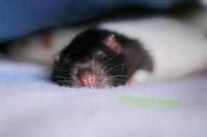 К чему снятся мыши и крысы