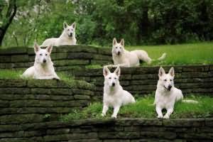 сонник к чему снится белая собака