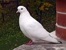 Белый голубь во сне