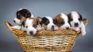 чему снится много маленьких собак