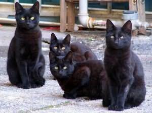 к чему снятся черные кошки