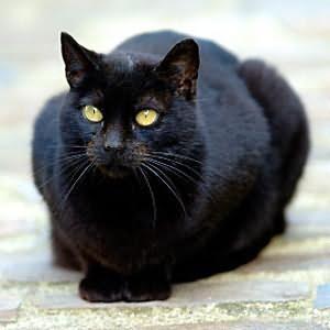 увидеть во сне черную кошку