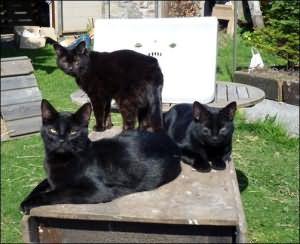 черные кошки приснились