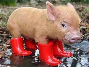 сонник к чему снится свинья