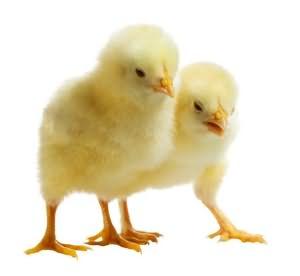 сонник к чему снятся цыплята