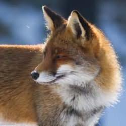 сонник к чему снится лиса