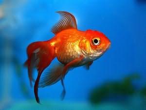снится рыба к беременности