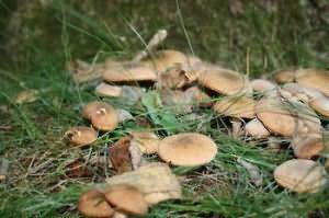 Сон соирать грибы в лесу
