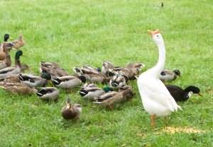 к чему снятся утки гуси