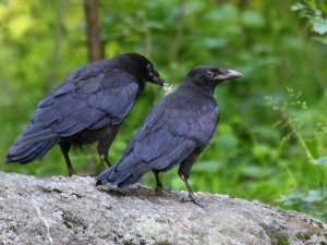 Сонник Черная ворона