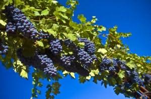 если видишь во сне виноград