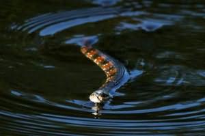 к чему снятся змеи в воде женщине