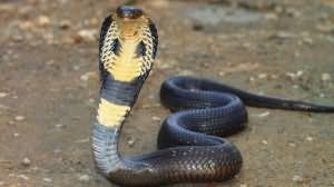Сон кобра, змея