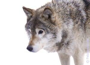 белый Волк по соннику
