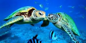 много черепах в воде