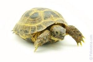 Черепаха маленькая по соннику