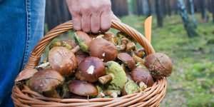 собирать червивые грибы