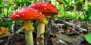 ядовитые грибки