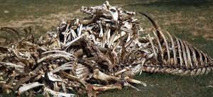 к чему снятся кости животного
