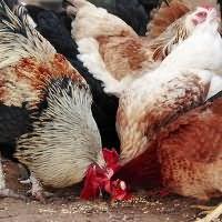 к чему снится белая курица
