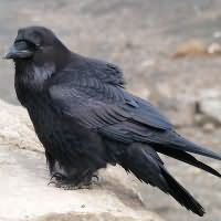 к чему снится черный ворон