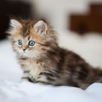 к чему снится маленький котенок