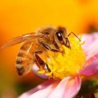 к чему снятся пчелы кусают