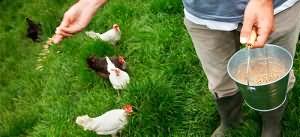 кормить кур