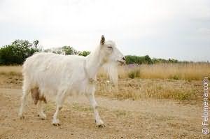 белая Коза по соннику