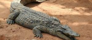 К чему снится крокодил