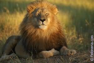 Лев и тигр по соннику