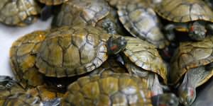 много маленьких черепах во сне