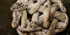 к чему снится клубок змей
