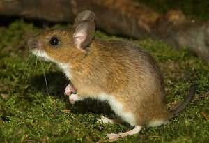 К чему снятся мыши