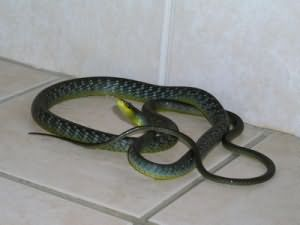 Сонник Змея в доме, к чему снится змея в доме во сне