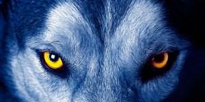 к чему снится взгляд волка