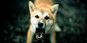 сонник злая собака