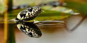 к чему снятся змеи в воде