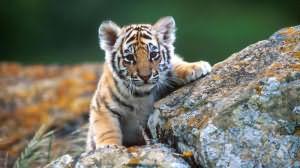 Сон тигренок маленький