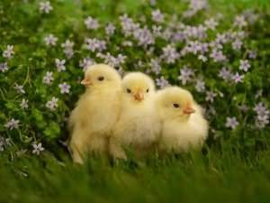 К чему снятся цыплята маленькие