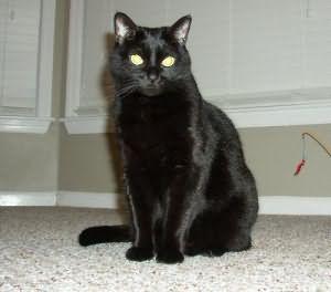К чему снится беременная черная кошка