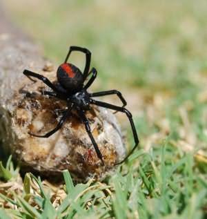 Сонник к чему снится черный большой паук