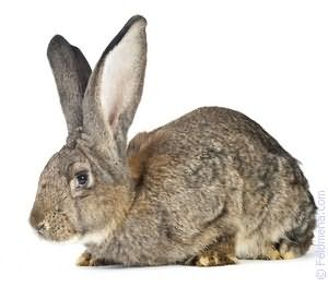 Видеть во сне кроликов