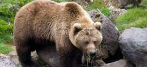 Сонник медведь к чему снится