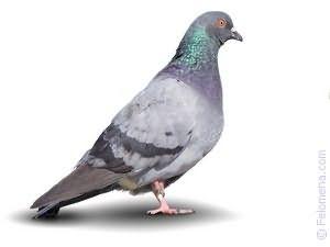 Сонник голубь в руке