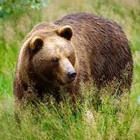 К чему снится медведь женщине замужней