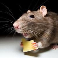 К чему снится мышь маленькая серая