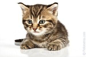 К чему снится трехцветная кошка женщине