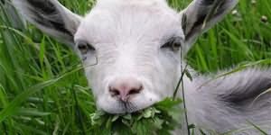 Сонник к чему снится коза белая